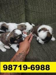Canil Filhotes Cães Premium BH Lhasa Maltês Bulldog Yorkshire Shihtzu Poodle