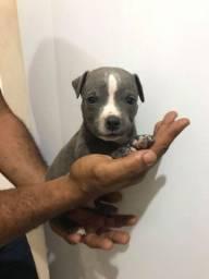 Filhote de pitbull terrier puro (macho)