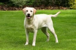 Estou doando esse cachorro Labrador