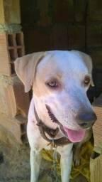 Cachorro misturado com labrador