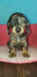 Filhote de dachshund fêmea arlequim (salchichinha)