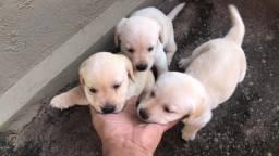 Vende se filhotes de labrador