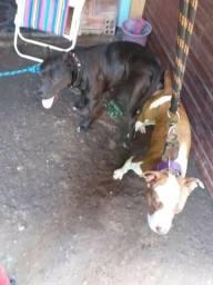 Vendo cadela pitbull 6 meses