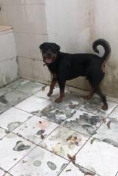 Rottweiler Macho