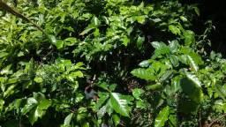 Plantação De café Saudável Interessado Ligue *