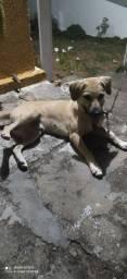 Título do anúncio: Labrador macho
