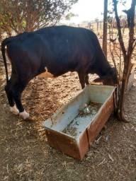 Duas vacas e Um Boi