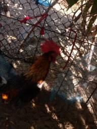 Vendo um casal de china pequena uma galinha e um galinho