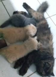 Filhotes de gato persa machos
