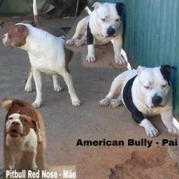 Filhote Pitbull Red Nose X American Bully