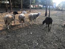 4 ovelhas fêmeas