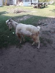 Família cabras saanen