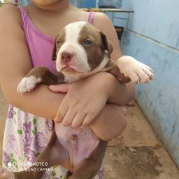 Pit Bull apbt red nose