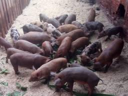Porcos / leitoas / leitões para o natal