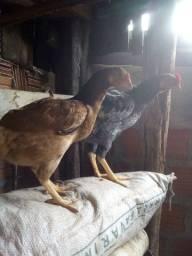 Vendo um galo e uma galinha novo por 80 reais