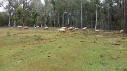 Ovelhas reprodutoras matrizes texel