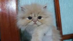 Filhotes de gato persa em 10x no cartão