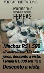 Vendo pug pedigree