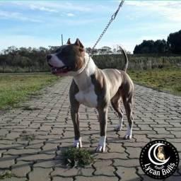 Padreador - American Pitbull Terrier