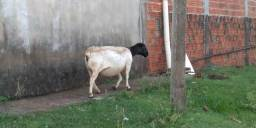Vender carneiro doper