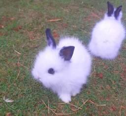Mini coelhos e coelhos anões