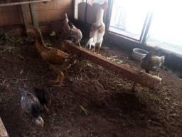 Vende se um galo duas galinhas botando duas frangas É duas pintinhas fêmea