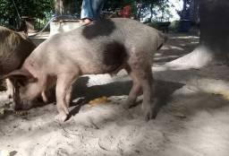 Título do anúncio: Vende se uma porca e três leitão *