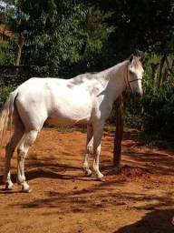Cavalo castrado