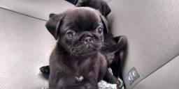 Título do anúncio: Fofissimo filhotinho de Pug