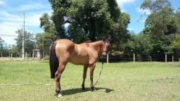 Cavalo Crioulo Xucro