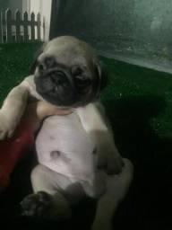 Machinho de Pug com pedigree