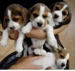 Filhotes de beagle macho a pronta entrega