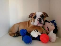 Filhote de Bulldog inglês