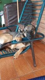 Cachorra pastor belga