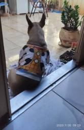 Bull Terrier excelente porte para cruza