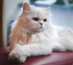 Procuro gata fêmea branca persa ou angorá