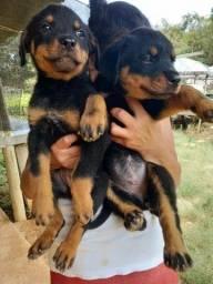 Título do anúncio: Filhotes de Rottweiler vermifugados e vacinados de