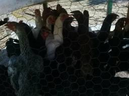 Vendo galinha caipira original valor 27 rais