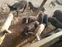 Vendo porcos tem macho e fêmea