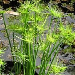 Plantas para aquário e lagos