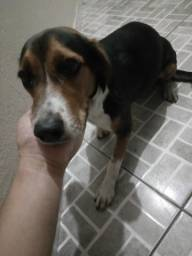Vendo cachorra de Beagle
