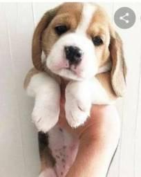 Beagles macho brincalhão fofos