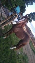 Cavalo potro