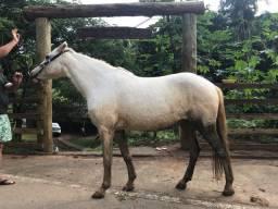 Cavalo ( 1/2 quarto de milha, 1/2 Manga larga Machador)