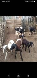 Filhotes de carneiros