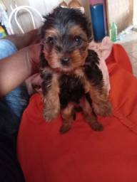 Yorkshire terrier macho ZAP *