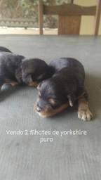 Filhotes machos yorkshire