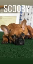 Bulldog francês com 3 meses, vacinado vermifugados, pedigree