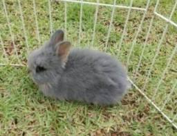 Vendo coelho angorá r$ 30