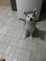 Vendo fêmea ds raça Husky Siberiano